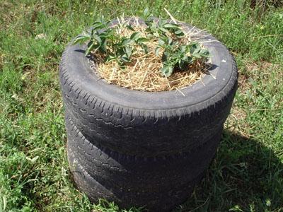 Plantar patatas en ruedas todotutoriales for Como cultivar patatas
